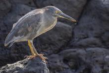 Ecuador, Galapagos National Park. Lava Heron On Rock.