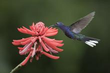 Caribbean, Costa Rica. Violet Sabrewing Hummingbird Feeding.