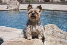 Yorkshire Terrier Posing Poolside
