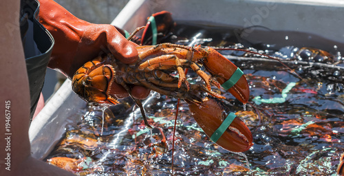 Fisheman holding a live lobster over a bin of lobsters