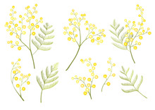 Mimosa Flower Spring Clip Art Isolated On White