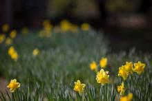Fresh New Spring Yellow Daffod...