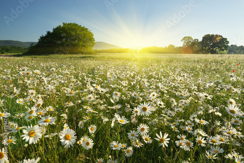 Photo sur Aluminium Marguerites Spring daisy flowers in meadow.