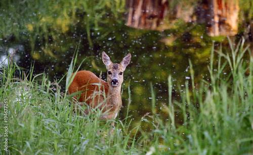 Staande foto Hert Deer / Capreolus capreolus