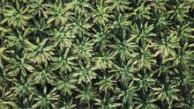Oil Palm Plantation Aerial Dro...