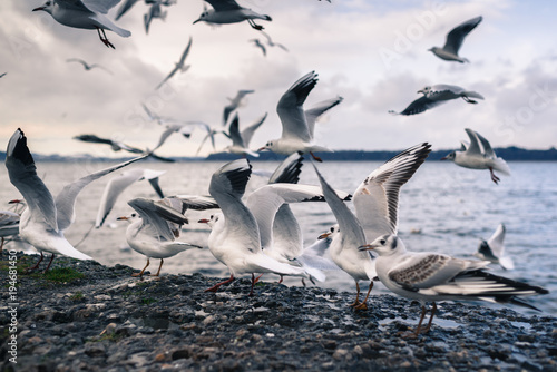 Seagulls on Lake Chiemsee. Bavaria. Germany