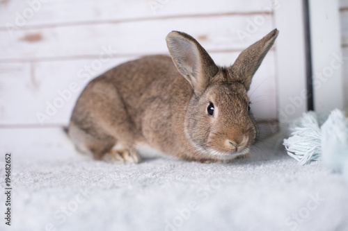 Beautiful little bunny on a rug at home Canvas Print