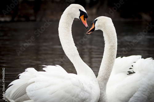 Poster Cygne Love is in the air