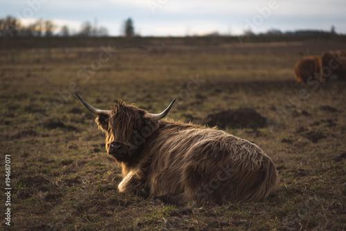 Deurstickers Schotse Hooglander Scottish Highland Cattle