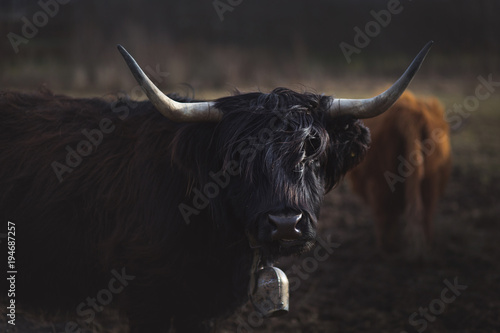 Vache de Montagne Scottish Highland Cattle