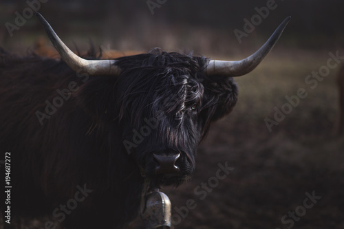 Foto op Aluminium Schotse Hooglander Scottish Highland Cattle