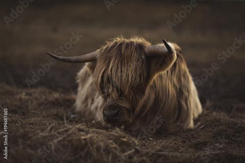 Spoed Fotobehang Schotse Hooglander Scottish Highland Cattle