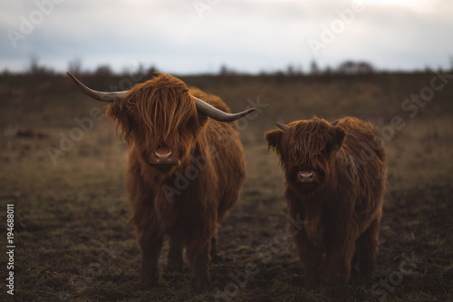 Fotobehang Schotse Hooglander Scottish Highland Cattle