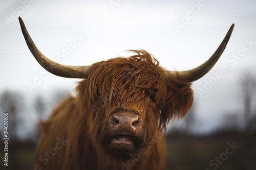 Deurstickers Schotse Hooglander Scottish Highland Cattle