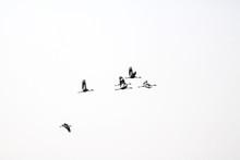 White-naped Crane (Grus Vipio)...