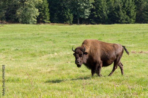 Poster Buffel American bison (Bison bison) simply buffalo
