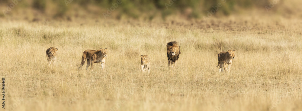 Pride of lions in the Masai Mara