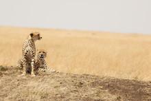 Cheetah Pair In The Masai Mara