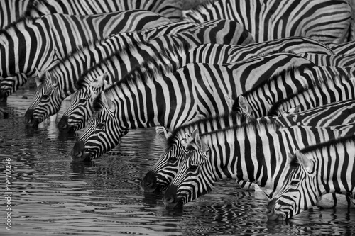 Tuinposter Zebra Zebras drinking at a waterhole in Etosha National Park