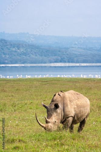 Poster Rhino Portrait of white rhino on Nakuru Lake. Rhinoceros in the background of flamingos. Kenya. Africa