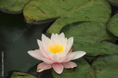 Deurstickers Waterlelies Nymphaea