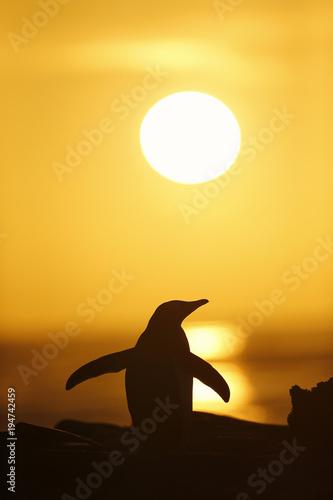 Gentoo penguin at sunset, Saunders, Falkland islands.