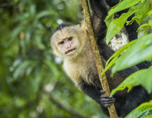 White-faced Monkey, Tortuguero...