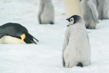 Fuzzy Baby Emperor Penguin - Antarctica