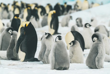 Baby Emperor Penguins In Their...