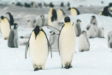 Pair Of Adult Emperor Penguins...