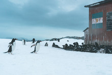 Group Of Gentoo Penguins At Re...