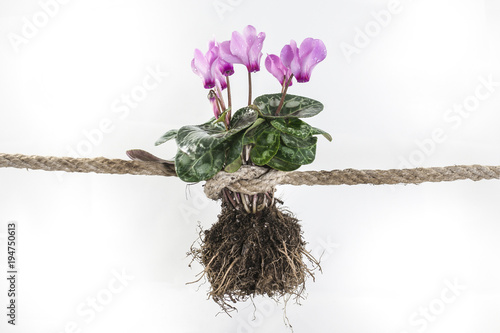 Fényképezés Pianta di ciclamini con radici e legati da una forte corda in un nodo che raccon