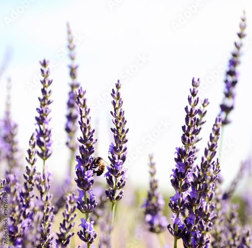 Photo Stands Lavender Lavender flowers