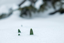 Growing Green Leaves Break Through The Snow, Pine Tree Branch In Background, Sign Of Spring, Close Up