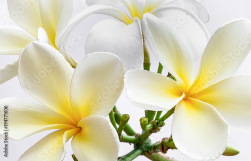 Tuinposter Frangipani Plumeria obtusa is beautiful flower.