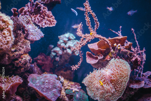 Poster Waterlelies Pink corals and fishes in aquarium