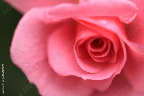 Fototapeta 薔薇の花 obraz na płótnie