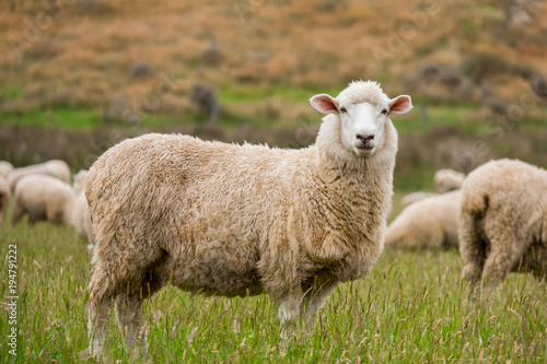 Tuinposter Schapen Cute sheep portrait, staring at a photographer, grazing in a green farm in New Zealand