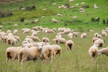 Flock Of Sheeps Grazing In Gre...