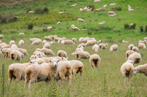 Flock of sheeps grazing in green farm in New Zealand