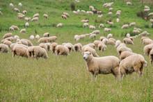 Flock Of Sheeps Grazing In Gre...