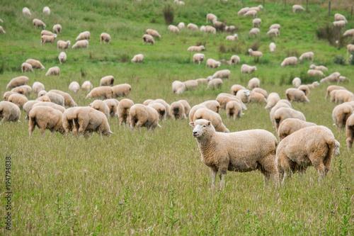 Flock of sheeps grazing in green farm in New Zealand