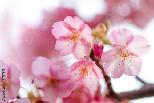 Japanese Cherry Blossoms Poster
