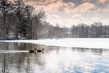 Geese On A Frozen Woodland Lak...