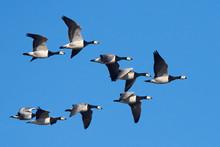 Barnacle Geese (Branta Leucops...