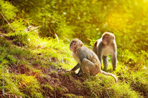 Montage in der Fensternische Honig Rhesus macaques