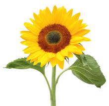 Wonderful Sunflower (Helianthu...