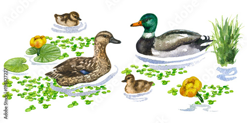 Fotografie, Obraz  Raster watercolor cute illustration of a duck family on water augmented with different plants