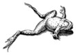 Dead frog lying on its back, isolated on white background. Illustration after a historical woodcut or engraving from the 17th century