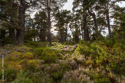 Fotografie, Obraz  Ancient caledonian forest in Cairngorms National Park, Abernethy Forest, Scotlan